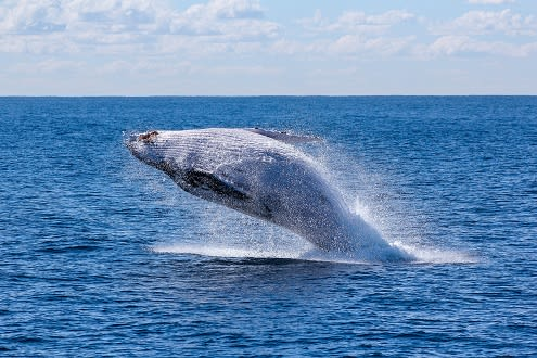 The Journey of the Humpback Whales in Mozambique