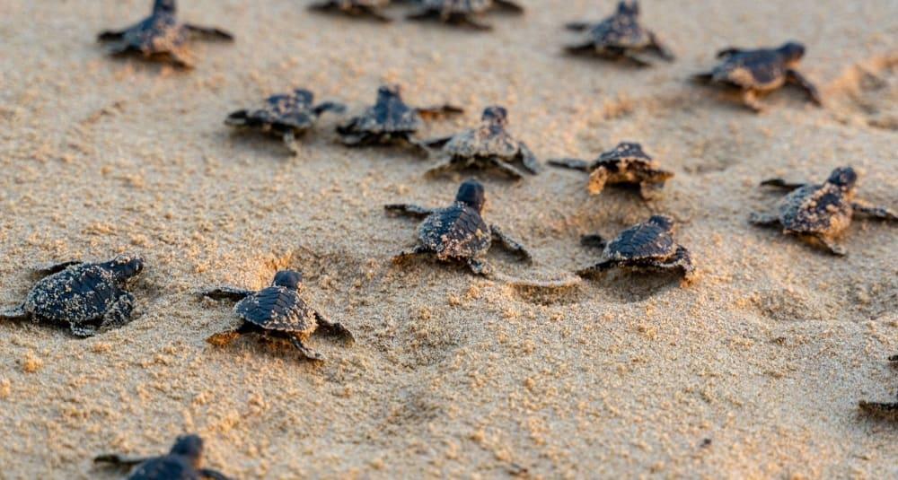 Top Ten Reasons to Visit Sri Lanka - Turtle Hatching