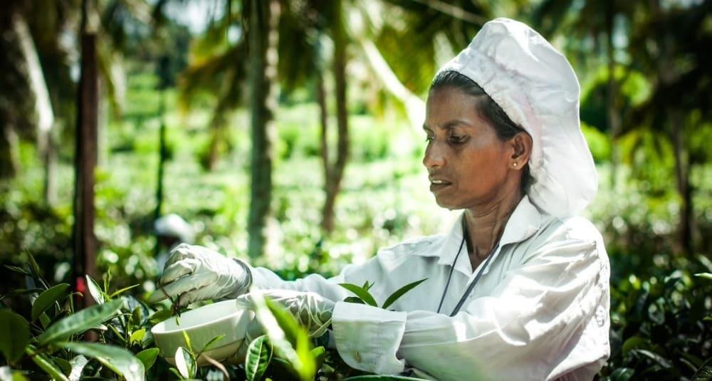 Top Ten Reasons to Visit Sri Lanka - Tea Plantation