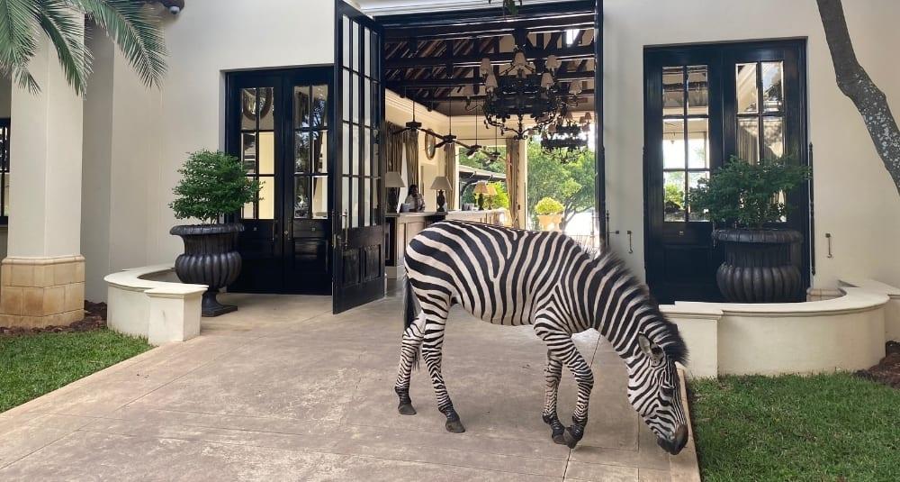 Zebras at Royal Livingstone Hotel