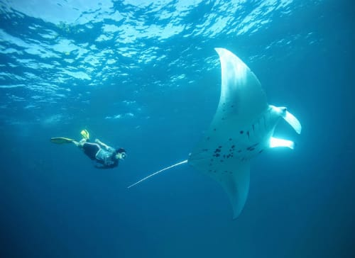 Anantara Kihavah Maldives Villas Invites Guests for Two Aquatic Experiences of a Lifetime: Manta Majesty and The Golden Wall